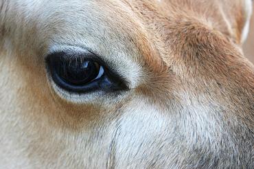 Cows_eye